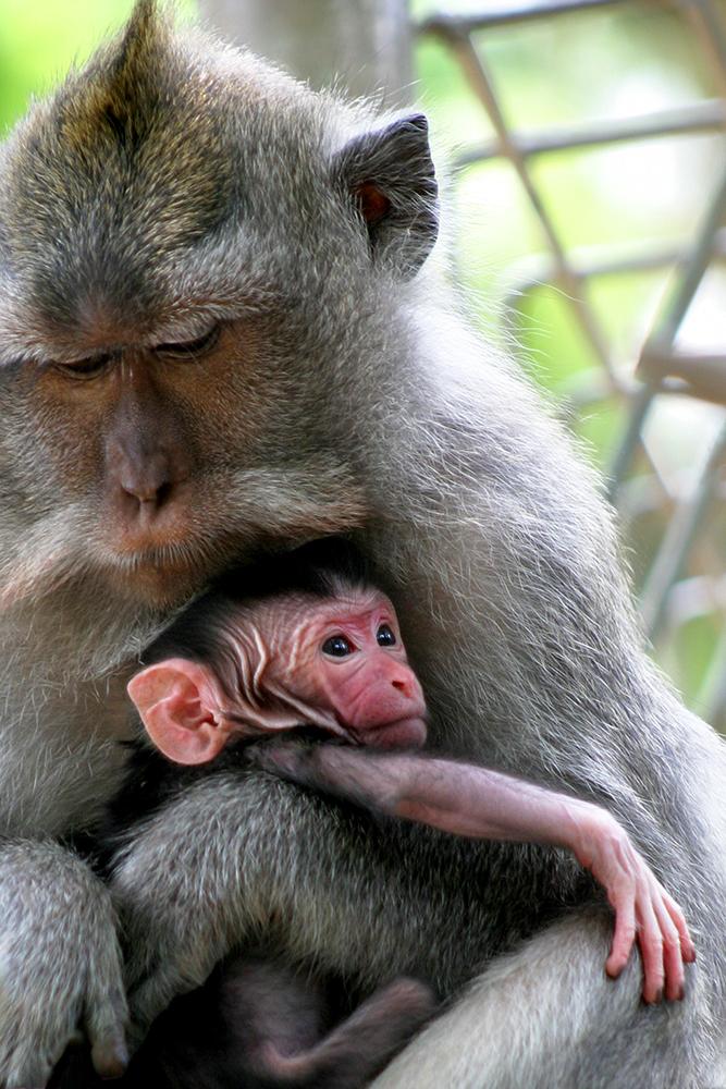 Visiting the Sacred Monkey Forest in Ubud, Bali - Monkey Snuggles