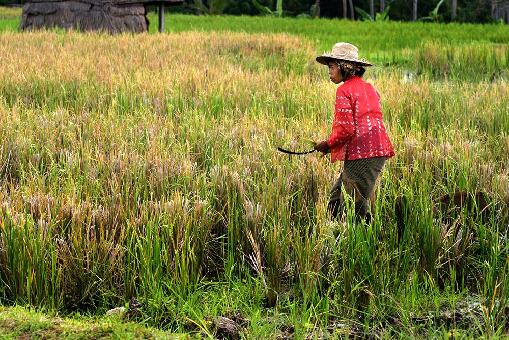 Woman Tending Rice in Ubud, Bali