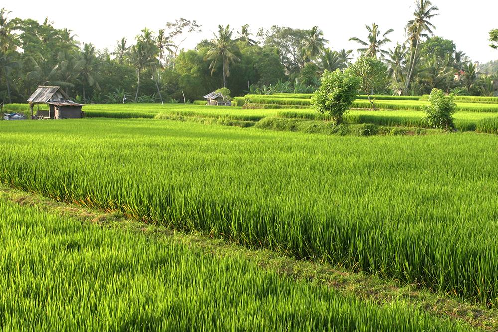 Visiting the Rice Paddies in Ubud, Bali