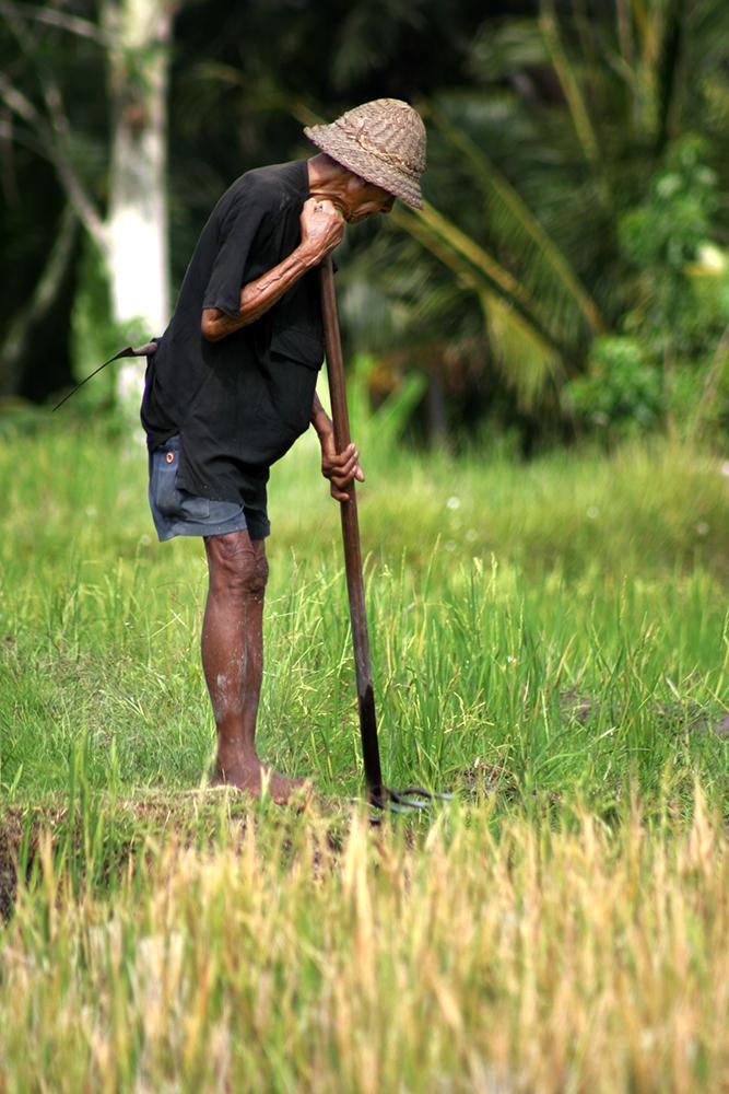 Man Tending Rice in Ubud, Bali