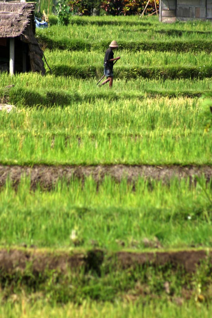 Visiting Rice Paddies in Ubud, Bali