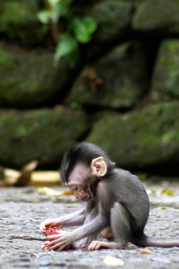 Visiting the Sacred Monkey Forest in Ubud, Bali - A baby long-tailed macaque locates a snack to play with. Look at those tiny little hands!
