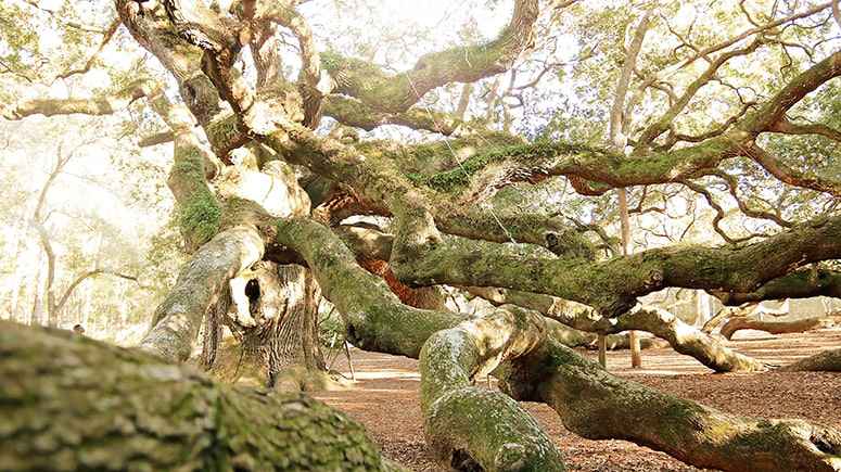 The twisted boughs of the Angel Oak are so heavy they reach the ground and continue growing.
