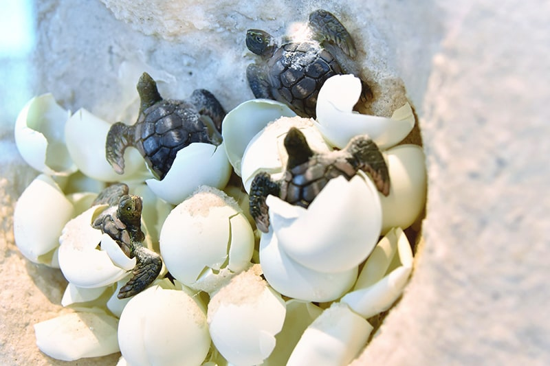 Baby sea turtles hatch and emerge from their eggs.